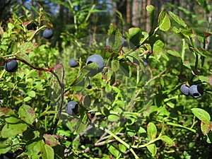Bilberry growing wild