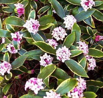 Hellebore viridis