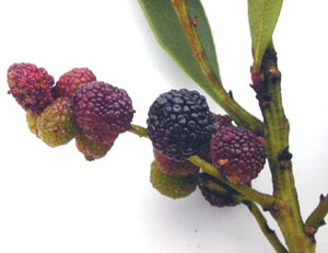 Bayberry fruit