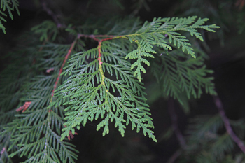 Northern White Cedar