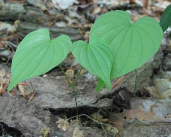 Wild Yam Plant