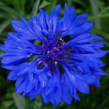 Cornflower