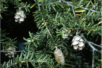 Hemlock Spruce