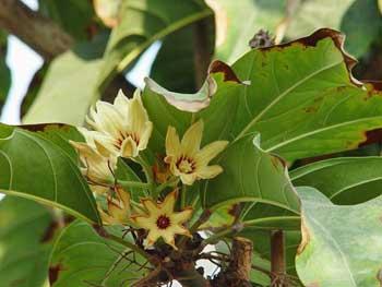 Kola Tree