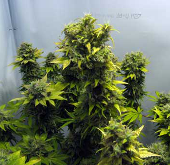 Marijuana Blooms