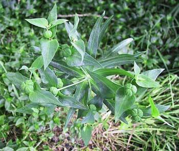 Euphorbia lathyrus