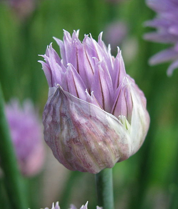 Chives Flower Opening