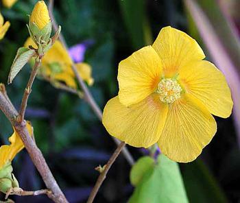 Hibiscus abelmoschus L.