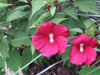 Hibiscus moscheutos L.