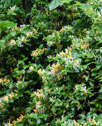 Honeysuckle - Lonicera Japonica