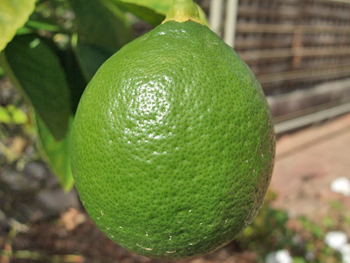 Lemon, ripening