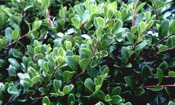 Manzanita - Arctostaphylos mewukka