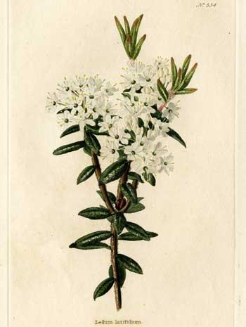 Marsh Tea - Ledum latifolium