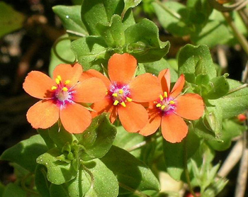 Red Pimpernel