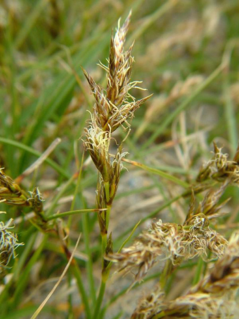 Red Sedge