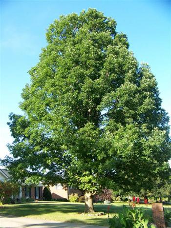 White Oak - Medicinal Herb | Medicinal Herb Info