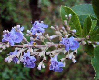 Simpleleaf Chastetree flower