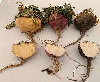 Maca Root Colors