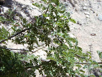 Acacia Greggii Leaves