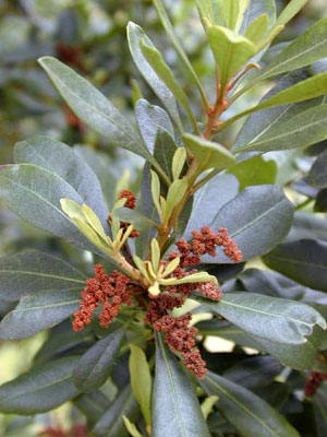 Bayberry foliage