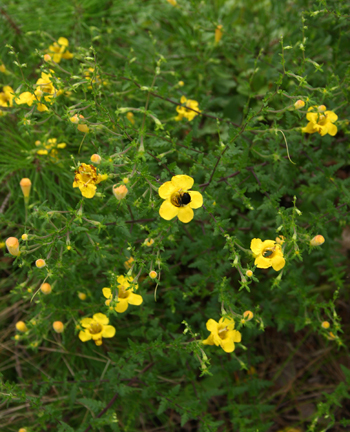 Feverweed