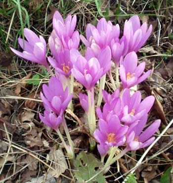 Meadow Saffron