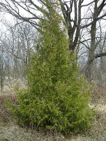 Northern white cedar medicinal herb info