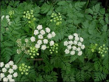 Hemlock medicinal herb info