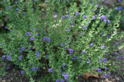 Skullcap medicinal herb info