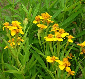 Tarragon Flowers