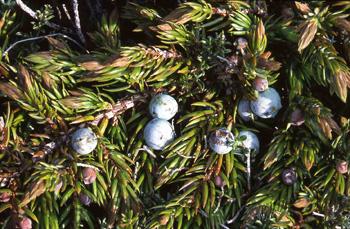 Juniper Medicinal Herb Info